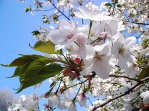 Sakura is most popular Japanese flower